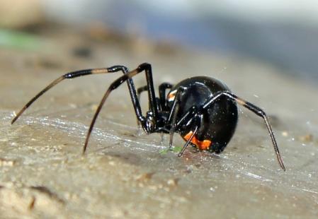 Black-Widow-21686369.jpg
